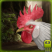 Download Full Angry Rooster Simulator  MOD APK Unlimited Cash